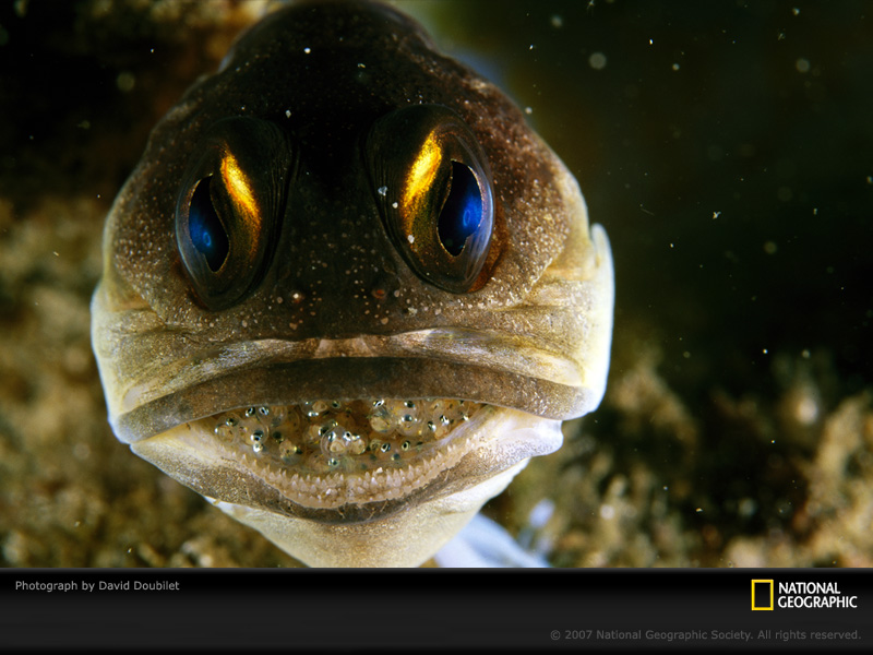Male Jawfish