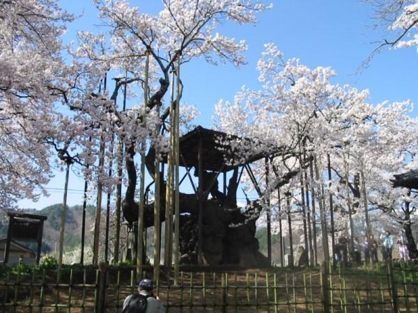 日本三大桜「神代桜」