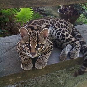 猫科動物「マーゲイ」が超絶にかわいい