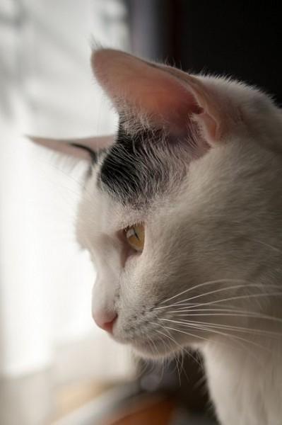 飼い猫サスケの横顔