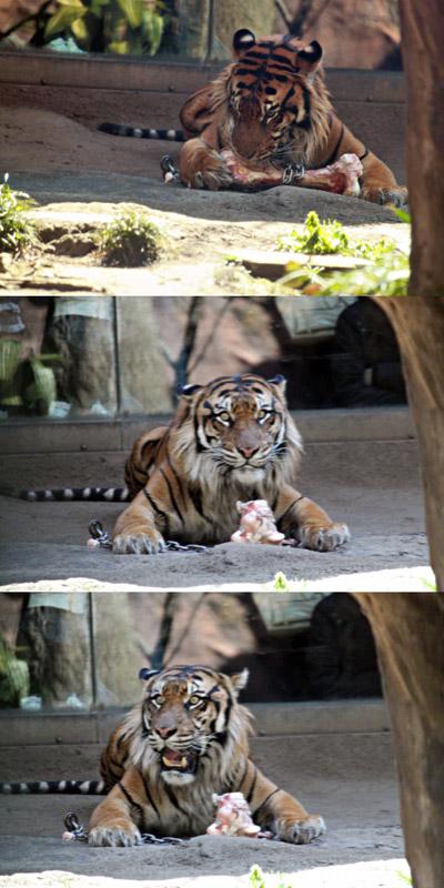 おやつタイム中に地震が来たときの虎の表情変化
